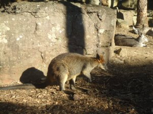 Wallaby, Taronga Zoo