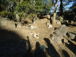 Sleeping Wallabees, Taronga Zoo
