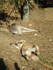 Sleeping Wallabies, Taronga Zoo