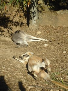 Sleeping Wallabies, Taronga Zoo