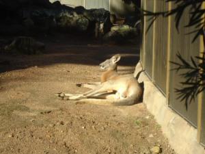 Tired Kangaroo