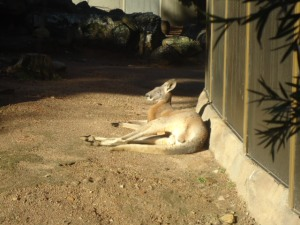 Tired Kangaroo