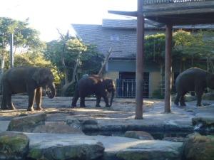 Elephants, Taronga Zoo