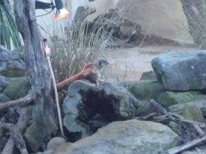 Meerkats, Taronga Zoo