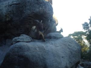 Goats at Taronga Zoo