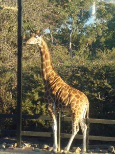 Giraffe, Taronga Zoo