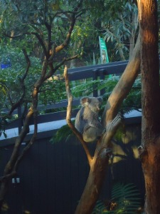 Koalas, Taronga Zoo