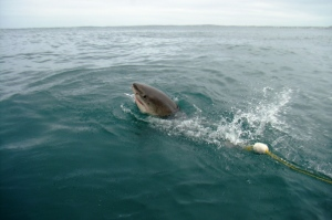 Shark diving, Gansbaai (1)