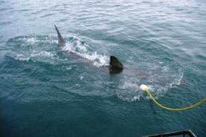 Shark diving, Gansbaai (3)