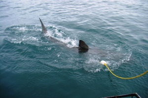 Shark diving, Gansbaai (3)