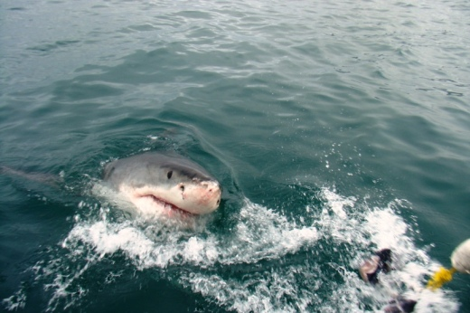 Shark diving, Gansbaai (5)