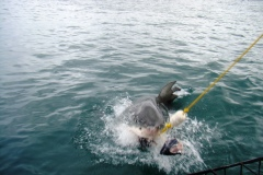 Shark diving, Gansbaai (7)