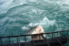 Shark diving, Gansbaai (8)