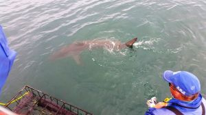 Shark diving in Gansbaai, South Africa (6)